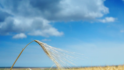Golden Ear Of Wheat, Isolated, Blue Sky Background With Clouds Footage