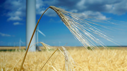 Golden Ear Of Wheat, Isolated, Intense Blue Sky Background With Clouds Footage
