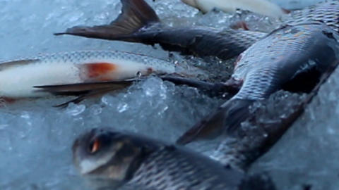 Fish in a split ice cooling Footage