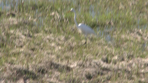 A white shore bird walking through sparse grass (1 of 2) Footage