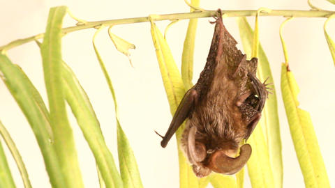 long-eared bat isolated on white Footage