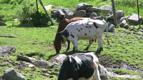 Cows grazing in rocky pasture (2 of 4) Footage