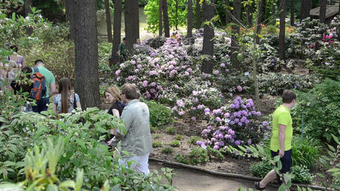 Visitors people admire colorful rhododendron blooms flower plant Footage