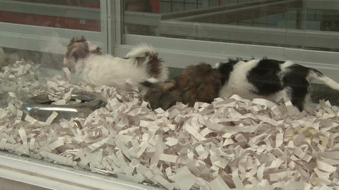 Puppies in a pet store (4 of 4) Footage