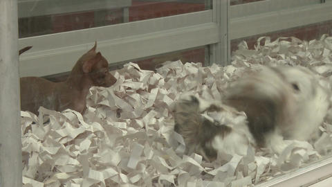 Puppies in a pet store (1 of 4) Footage