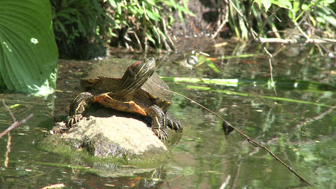 Small turtle enjoying the water (5 of 6) Footage
