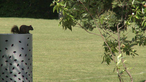 Squirrel eating nut next to small tree Footage