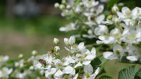 rubus caesius branch white blossoms bees fly flowers Footage