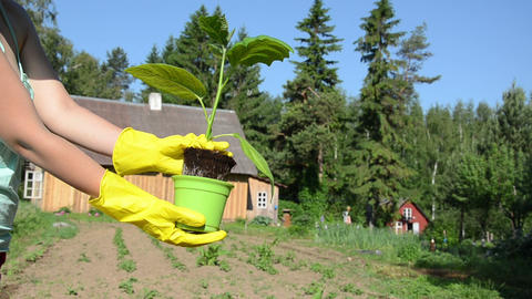hand yellow gloves keep eggplant seedling trying to pull Footage