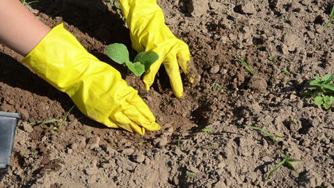 woman with yellow gloves plant into wet pit cucumber seedling Footage