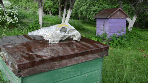 bee hive roof lying wild animal skull in the rain Footage