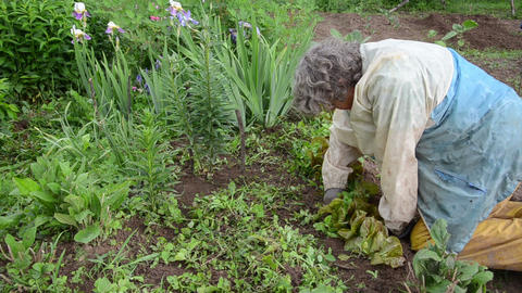 elderly woman weeding grass sprouted from the lettuce beds Live Action