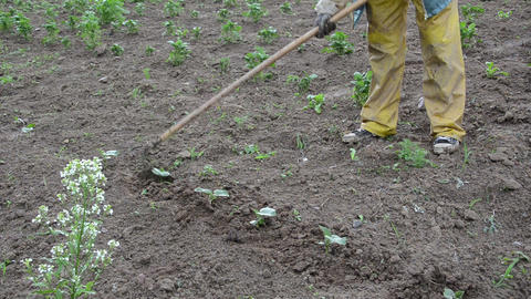 hoe loosen soil around cucumber seedlings Footage