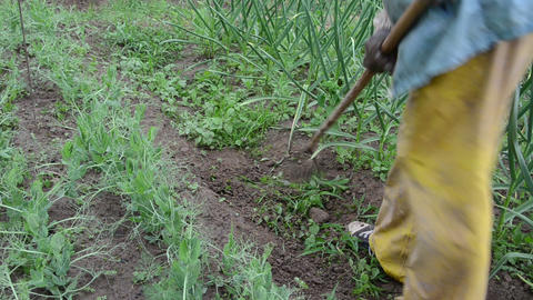 farmer weeds between the beds of peas and garlic Live Action