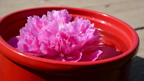 red clay bowl with water floating pink peony flower Footage