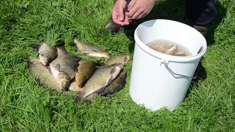 hand take big shiny fish on the grass put into bucket water Footage
