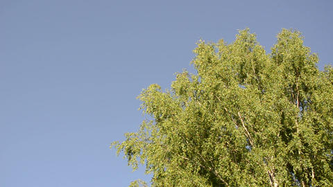 big old wide birch branches sway in wind on blue sky background Footage