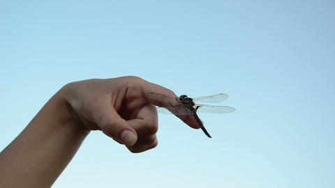on finger sits a large damselfly wings move in the wind Footage