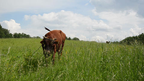 bull graze in pasture surrounded by horseflies gadfly insects Footage