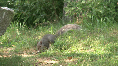 Squirrel rummaging through the forest (4 of 4) Footage