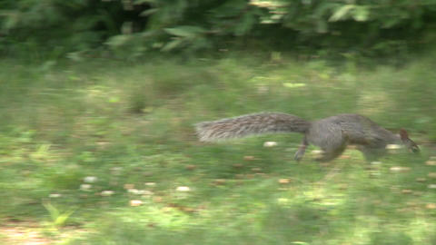Squirrel rummaging through the forest (2 of 4) Footage