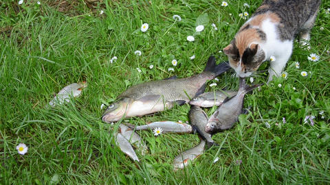 Alive fishes lie struggle on grass and pet cat steal food Footage