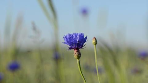 Closeup of blue dewy cornflower bloom move in wind Footage