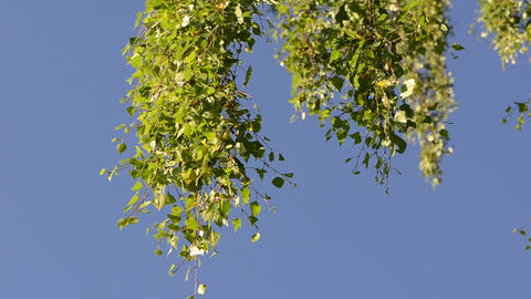 Leaves on branch of birch tree move in wind against blue sky Footage