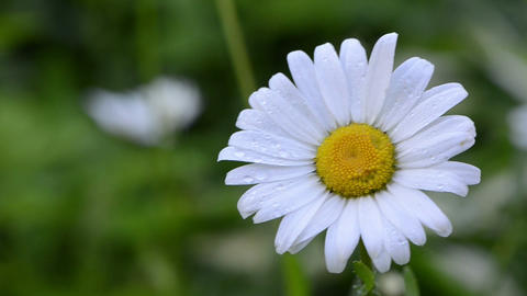 Closeup of dewy daisy flower bloom with petals move in wind Footage