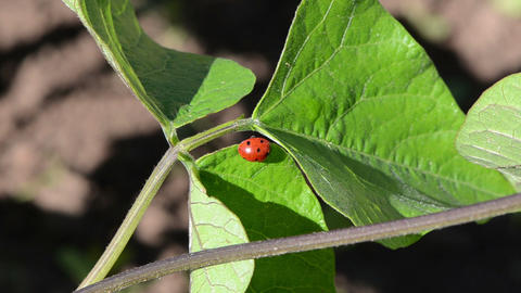 ladybird insect animal sit on bean plant leaves move in wind Footage