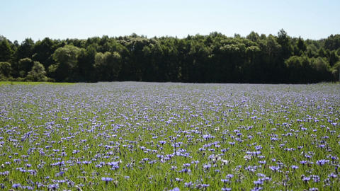 Agriculture blue cornflower bloom field move in wind near forest Footage