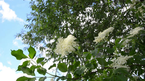 White elder Sambucus bush branches with blooms move in wind Footage