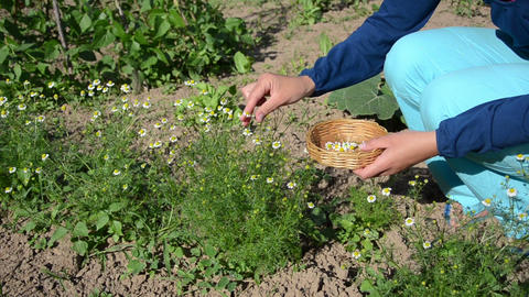 herbalist girl pick camomile herbal flower blooms to wicker dish Footage