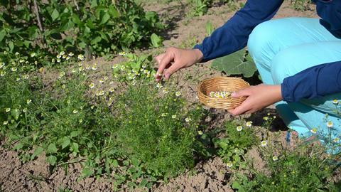herbalist girl pick camomile herbal flower blooms to wicker dish Footage
