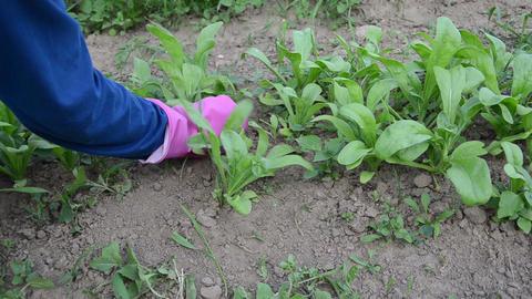 gardener hands in rubber gloves grub up weeds marigold plants Footage