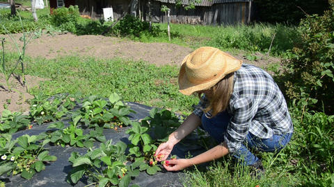 gardener girl woman gather pick ripe strawberry berry in garden Live Action