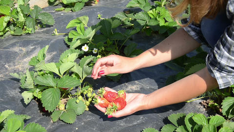 Closeup gardener girl hand pick ripe strawberry berry in garden Live Action