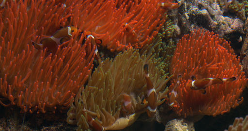 clownfish anemone 01 Footage