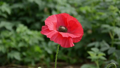 closeup red poppy flower bloom petal in garden move in wind Footage
