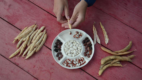 closeup of farmer hands shell husk decorative colorful bean pods Footage