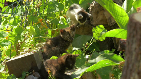 Beautiful and sweet kittens, playing together Footage