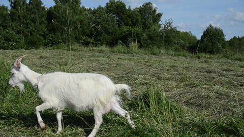 adult white goat tied with rope graze in the meadow Stock Video Footage