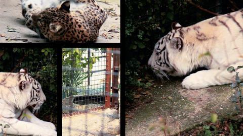 Big cats splitted Stock Video Footage
