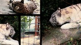 Big Cats Splitted stock footage