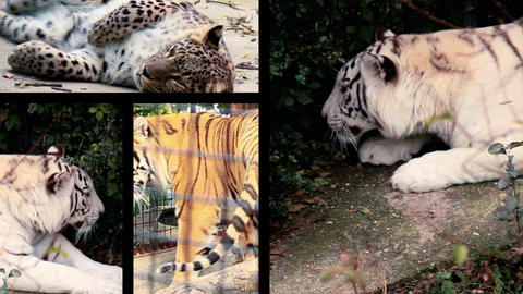 Big cats splitted Footage