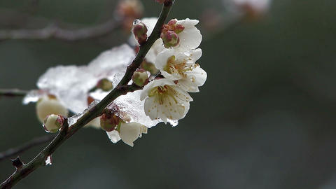 Flower of a White Plum wore snow,in Oume Japan Stock Video Footage