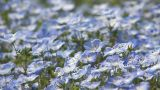 Flowers of baby blue eyes in Showa Kinen Park,Tokyo,Japan Footage