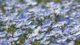Flowers of baby blue eyes in Showa Kinen Park,Tokyo,Japan Footage