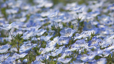 Flowers of baby blue eyes in Showa Kinen Park,Tokyo,Japan Stock Video Footage