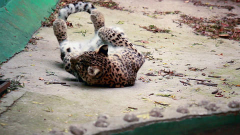 Leopard taking a rest Stock Video Footage